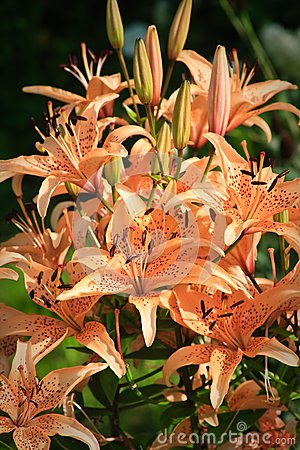 View of the brown Lilium tigrinum