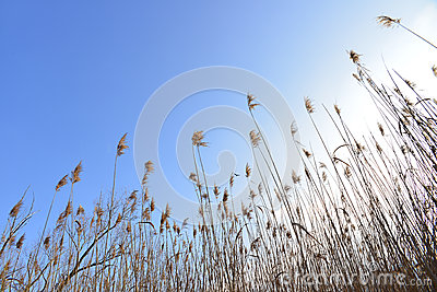 Cane thicket