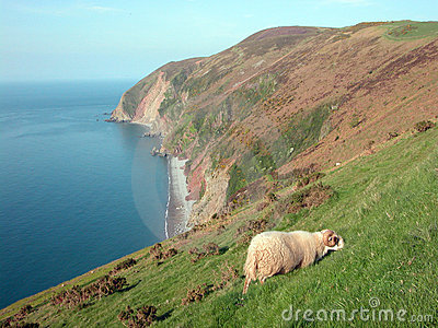 View of Foreland Point with sheep, North Devon