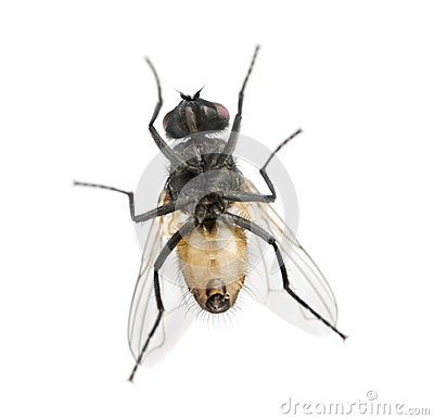 Free View From Below Of A House Fly, Muscidae, Isolated Royalty Free Stock Photos - 37848968