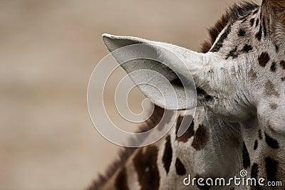 view of a giraffe s ear