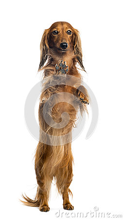 View through a glass of a Dachshund