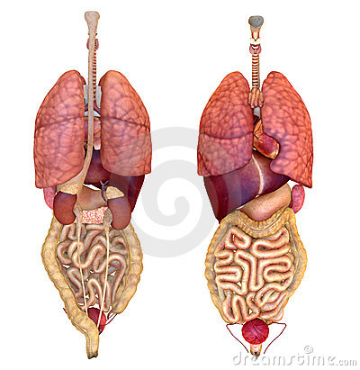 View of internal organs