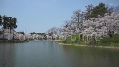 Cherry blossom on the lake. View of the lake during the beautiful cherry blossom stock video footage