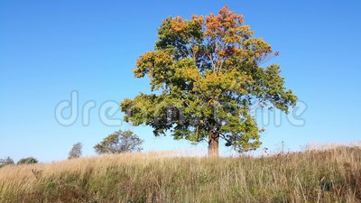 Beginning of autumn. View of lone old maple in early autumn stock footage