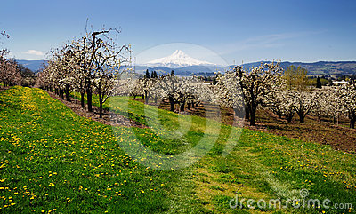 A view of orchards in Hood river