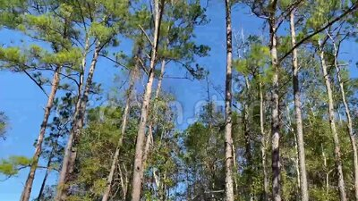 View from vehicle fast moving trees against a blue sky on a loop. Highway view of fast moving trees against a blue sky suitable for loop and looping stock video footage