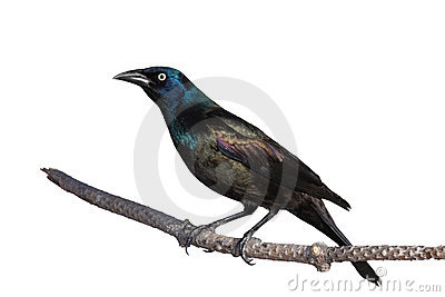 Vigilant grackle keeps a suspicious eye