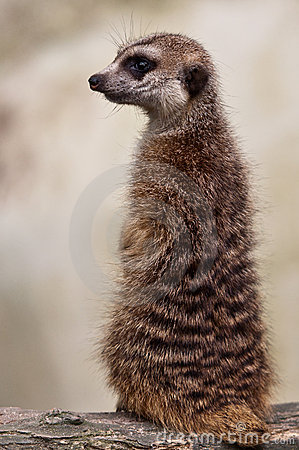 Vigilant Meerkat Standing Guard