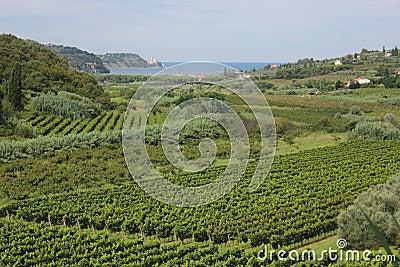 Vigne ed alberi da frutto slovenia fotografia stock for Alberi da frutto prezzi
