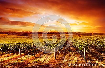 Vigne étonnante de coucher du soleil