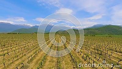 Vignobles de la vallée d'Alazani, tradition de vinification en Géorgie, marchandises d'exportation banque de vidéos