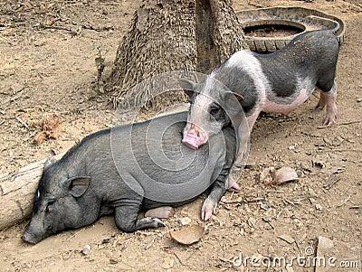 Village Pigs, Laos