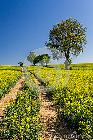 Free Village Road Between The Field Of Oilseed Rape Stock Photography - 24868012