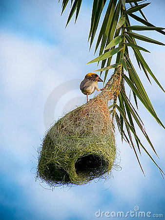 Village Weaver bird s nest