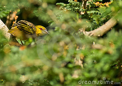 A Village Weaver in the green