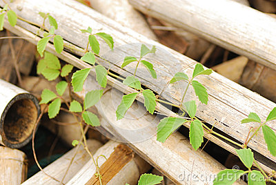 Vine on bamboo wooden