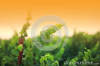 Vine branch close-up