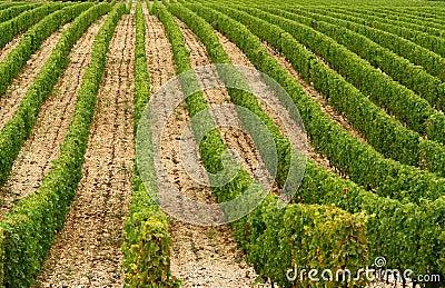 Vine of france