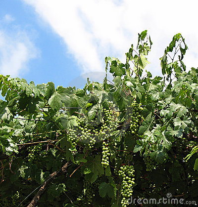 Vine and Grapes