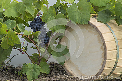 Vine grapes and the wine cask background
