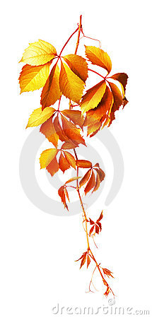 Vine isolated on white