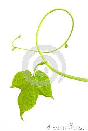 Free Vine Leaf Stock Images - 18480224