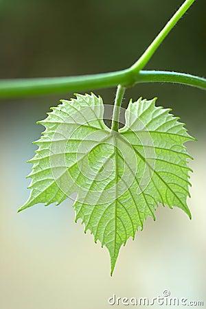 Free Vine Leaf Royalty Free Stock Image - 2497956