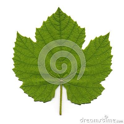 Free Vine Leaf Stock Images - 5819474