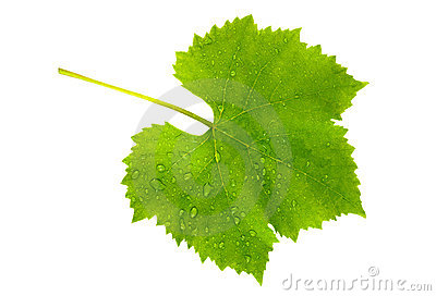 Vine leaf wet