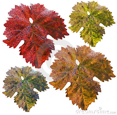 Vine leafs in different colors