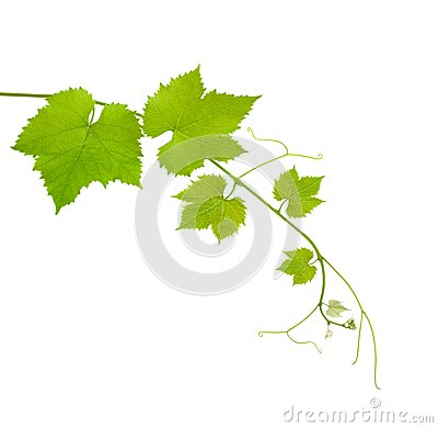 Free Vine Leaves Stock Image - 25389631