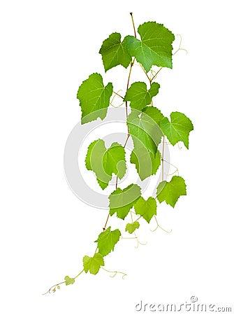 Free Vine Leaves Stock Image - 25804031