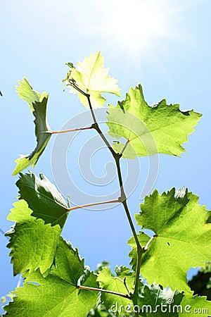 Vine leaves on blue sky