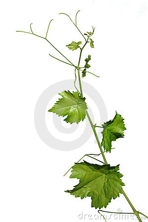 Free Vine Leaves Isolates On White Stock Photo - 3206060