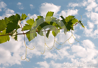 Vine leaves and tendrils over sky, backlit