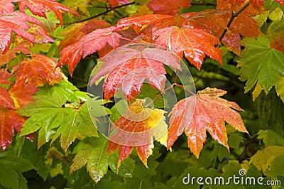 Vine Maple (Acer circinatum)