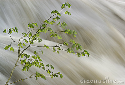 Vine maple tree and raging river