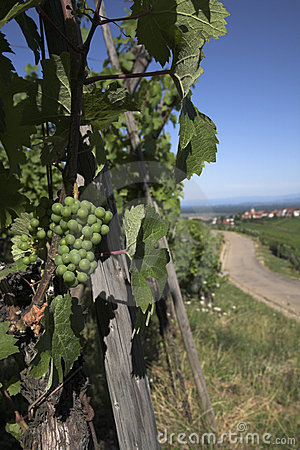 Vine row in Alsace