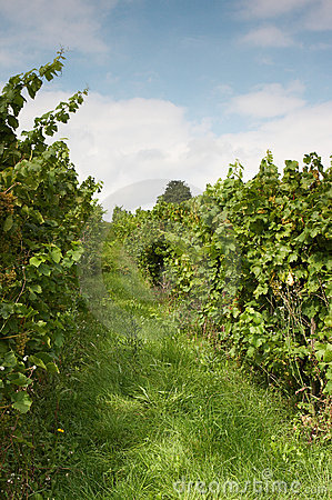 Vine Rows Stock Photo - Image: 10073420