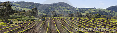 Vine rows in the Barossa Valley