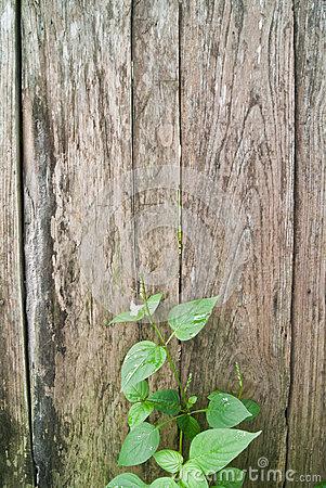 The vine on wood
