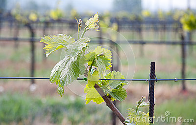 Vinegrape leaf in a Vineyard in tuscan country