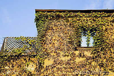 Vines covering house