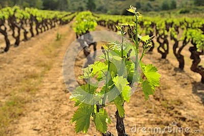 Vines in France during spring