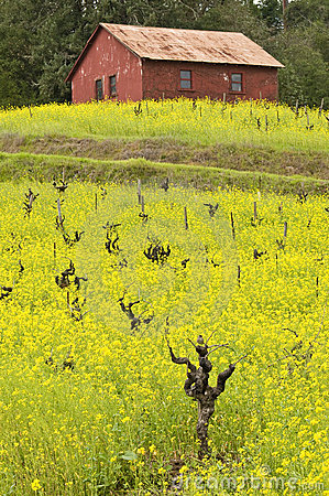 Vines, mustard and barn