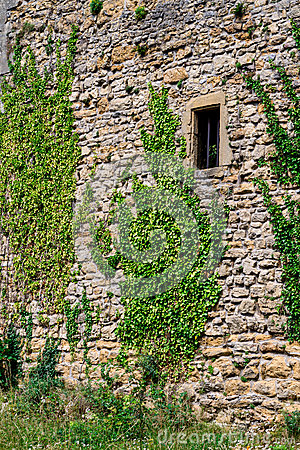 Vines on old castle wall