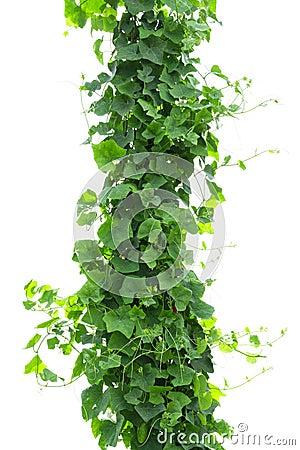 Free Vines On Poles Stock Image - 116330041