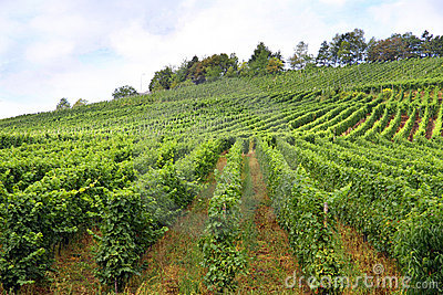 Vines in a vineyard