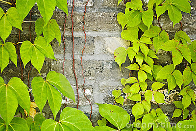 Vines on Wall